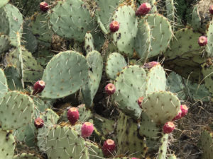 Tucson Prickly Pear Cactus with fruit