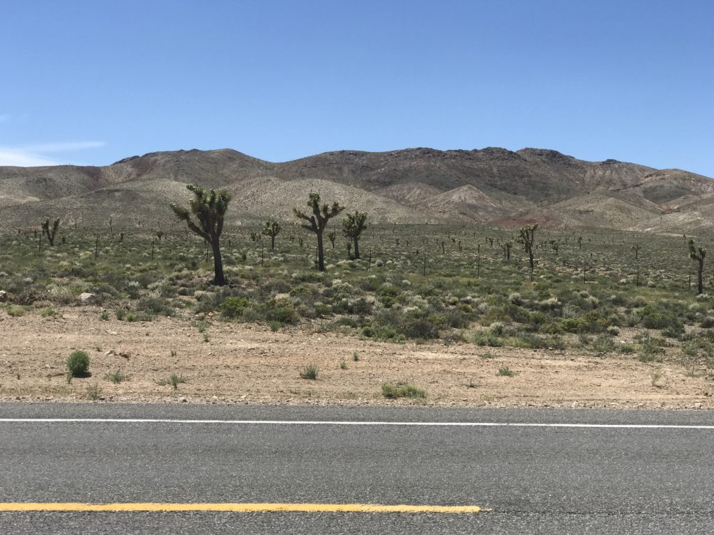 Joshua Trees in Nevada