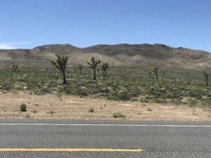 Joshua Trees in Nevada