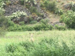 Mule Deer in the road in Montana