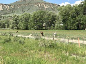 Llamas near FairPlay in Colorado