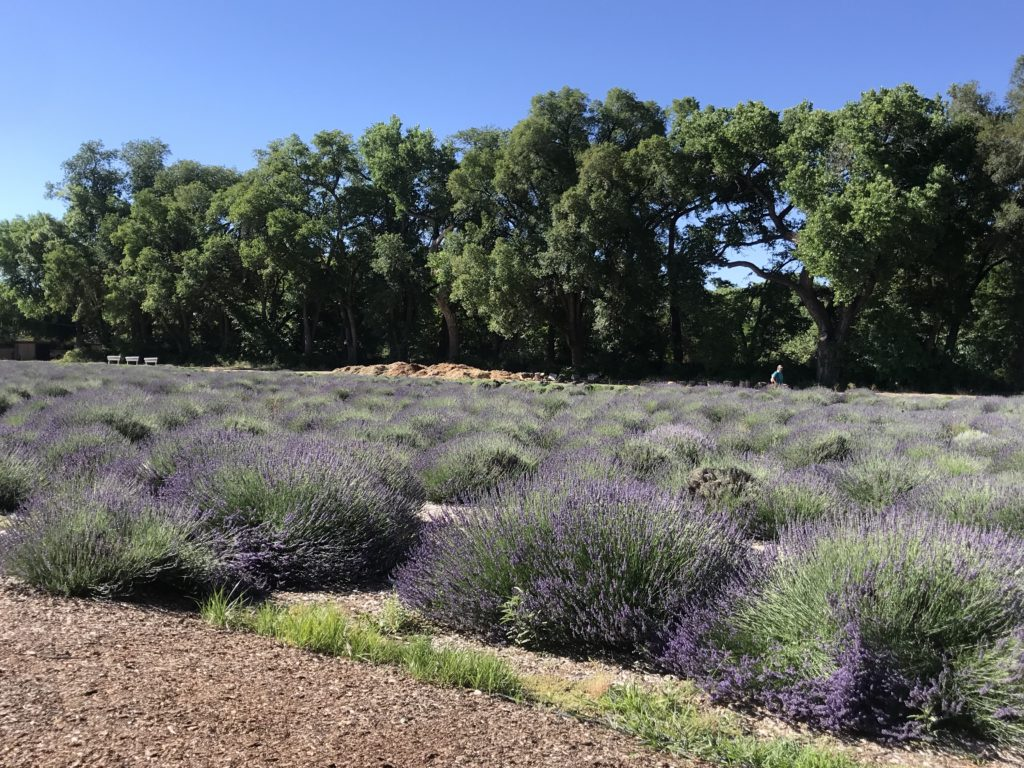 Lavender Fields at Los Poblanos, ABQ,NM