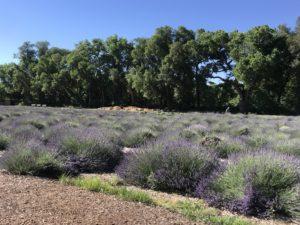Lavender Fields at Los Poblanos, ABQ,NM