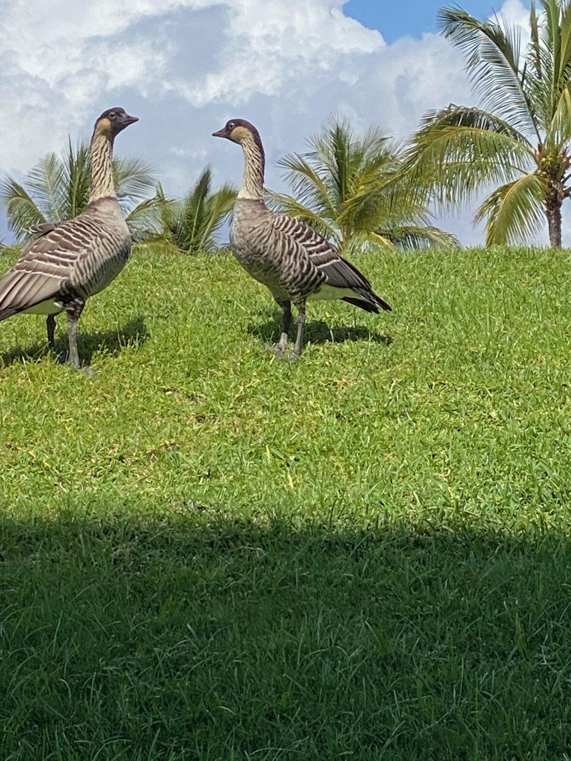 Nene, Hawaii's Stae Bird