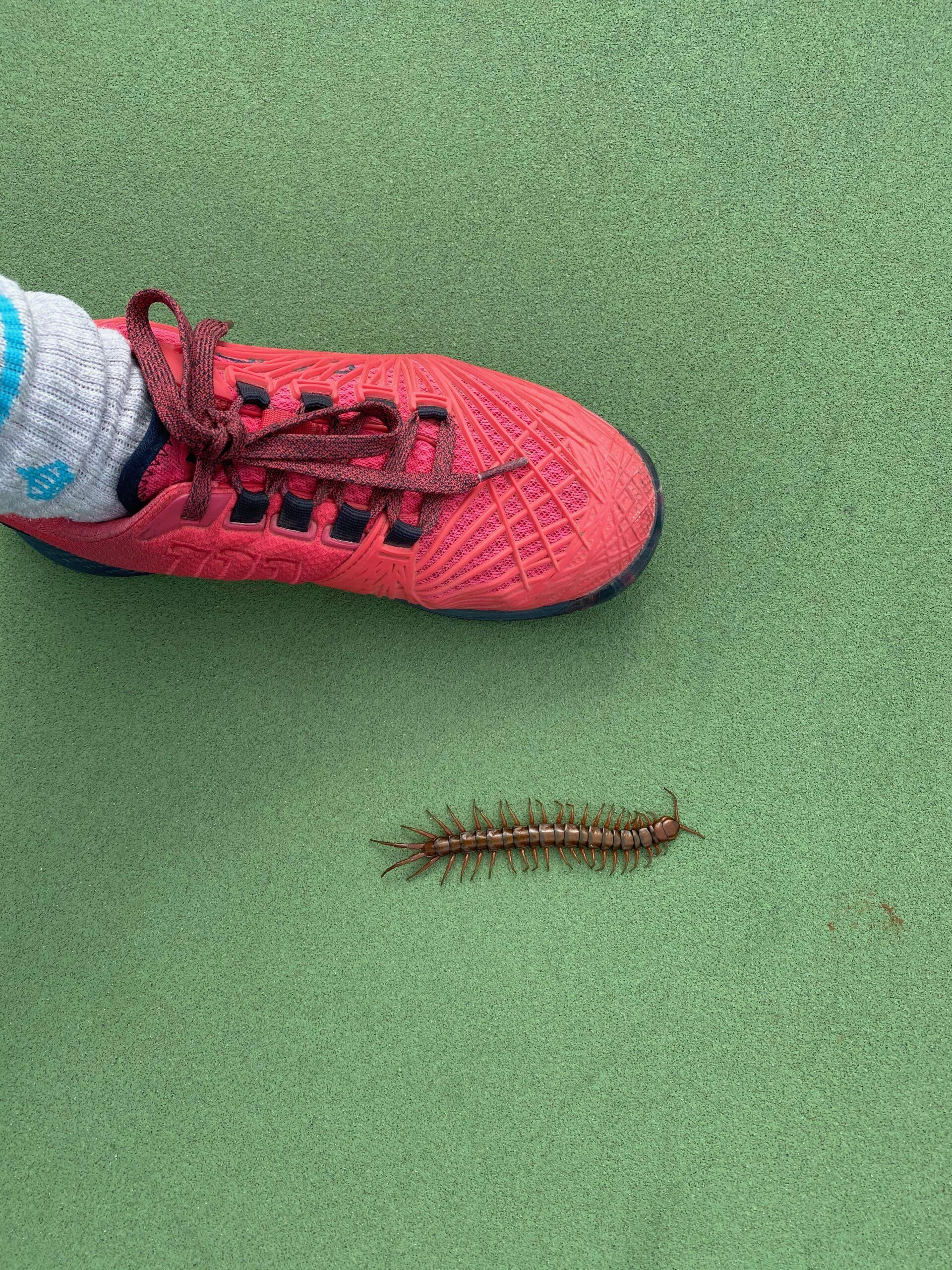 Hawaii Centipede