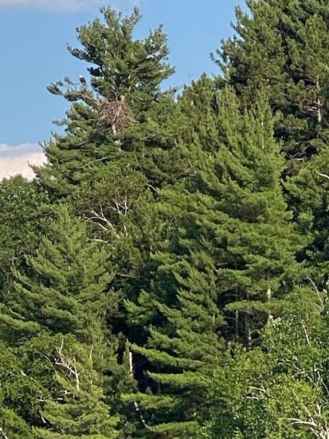 Bald Eagle at Grindstone Lake